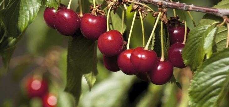 Guía Práctica. Recolección de cerezas de elevada calidad