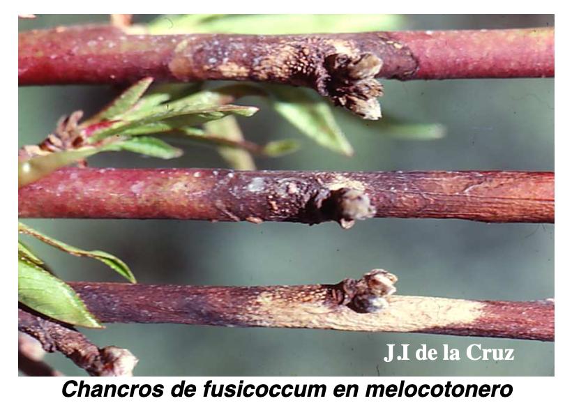 Chancros de fusicoccum en melocotonero