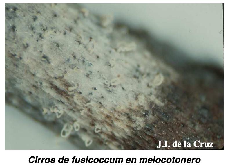 Cirros de fusicoccum en melocotonero