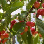 Árbol con cerezas verdes