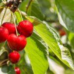Ramas de un cerezo con un grupo de cerezas