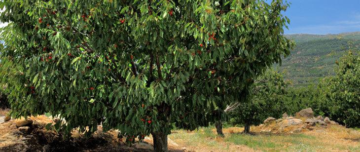 Nuevo boletín fitosanitario sobre la mosca de la cereza
